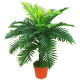 Image of Classic Jungle Fern Plant